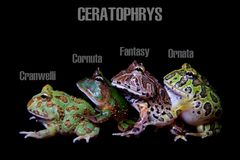 The pacman frogs isolated on black. The pacman frogs, Ceratophrys genus, isolated on black background royalty free stock photo