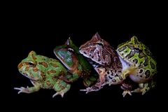 The pacman frogs isolated on black. The pacman frogs, Ceratophrys genus, isolated on black background royalty free stock image