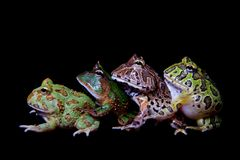 The pacman frogs isolated on black. The pacman frogs, Ceratophrys genus, isolated on black background stock image