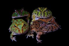 The pacman frogs isolated on black. The pacman frogs, Ceratophrys genus, isolated on black background stock images