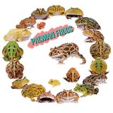 The pacman frogs in ring isolated on white. The pacman frogs in ring, Ceratophrys genus, isolated on white background royalty free stock photography