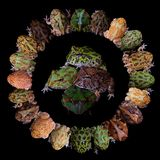 The pacman frogs in ring isolated on black. The pacman frogs in ring, Ceratophrys genus, isolated on black background royalty free stock images