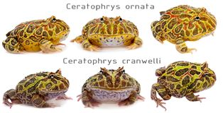 The pacman frogs set white Stock Photography