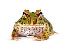 Pacman Frosch Lizenzfreies Stockfoto