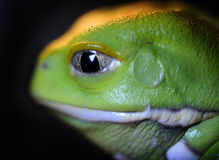 Pacman groda Arkivfoto