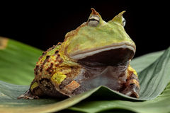 Pacman groda eller horned padda Fotografering för Bildbyråer