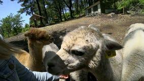 Pacos d'alimentazione del Vicugna dell'alpaca Chiuda sulla vista stock footage