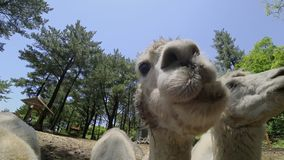 Pacos de alimentación del Vicugna de las alpacas Ciérrese encima de la visión almacen de video