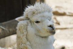 Pacos de la llama de la alpaca Imagen de archivo libre de regalías