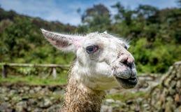 Pacos de Vicugna d'alpaga dans Cusco, Pérou Photographie stock libre de droits