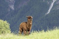 Pacos del Vicugna de la alpaca en un prado verde en un fondo del moun Fotos de archivo