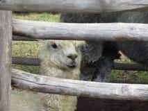 Pacos del Vicugna dell'alpaga che guardano fuori recinto di legno Fotografie Stock Libere da Diritti