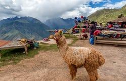 Pacos del Vicugna dell'alpaga in Cusco, Perù Fotografie Stock Libere da Diritti