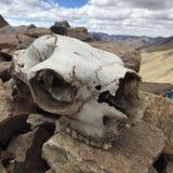 Pacos peruanos del Vicugna del cráneo de la alpaca Imagen de archivo libre de regalías