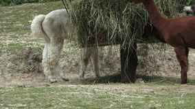 Pacos van Alpacasvicugna stock footage