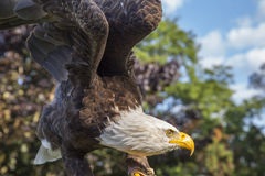 Pacote Eagle Foto de Stock Royalty Free