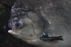 Pacu鱼 免版税库存图片