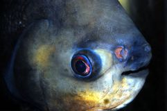 Pacu Closeup. Closeup of the face of a large Red Belly Pacu Stock Images