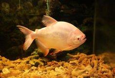 Pacu fish Stock Photography