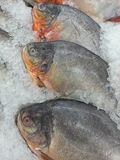 Pacu fish on ice at supermarket Royalty Free Stock Image