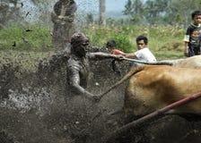 Pacu Jawi Fotografia Stock Libera da Diritti