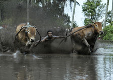 Pacu Jawi Immagine Stock