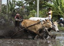 Pacu Jawi Fotografia Stock