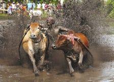 Pacu Jawi Fotografie Stock Libere da Diritti