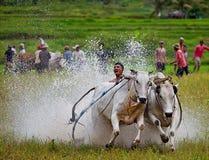 Pacu Jawi 免版税库存图片