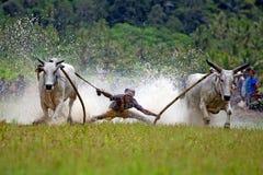 Pacu Jawi Stock Photo