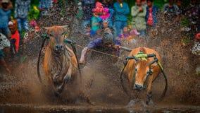 Pacu Jawi Race Stock Image