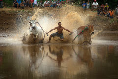 Pacu Jawi in West Sumatra, Indonesia. Stock Image