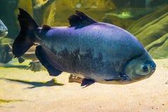 Pacu nero gigante, grande pesce tropicale dal bacino di amazon dell'America, animale domestico popolare in acquacoltura fotografie stock libere da diritti