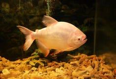 Pacu ryba Fotografia Stock