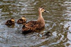 Pacyficzna Czarna kaczka z duclings zdjęcia royalty free