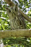 Pacyficzna skrzeczenie sowa z dużymi oczami obrazy royalty free