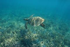 Pacyficznego oceanu hawksbill denny żółw nad rafą koralowa obrazy royalty free