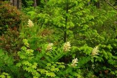 Pacyficznego północnego zachodu młody wzrostowy las i łoza derenia krzak zdjęcia royalty free