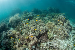Pacyficzni korale Obraz Stock