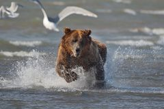 Pacyficzni Nabrzeżni Brown niedźwiedzi usus arctos na Ke - grizzliy - zdjęcie stock