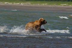 Pacyficzni Nabrzeżni Brown niedźwiedzi usus arctos na Ke - grizzliy - obraz stock