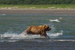 Pacyficzni Nabrzeżni Brown niedźwiedzi usus arctos na Ke - grizzliy - zdjęcia stock
