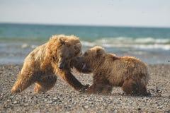 Pacyficzni Nabrzeżni Brown niedźwiedzi usus arctos walczy - grizzliy - obrazy royalty free