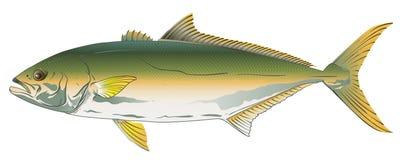 Pacyficzni Yellowtail Ilustracji