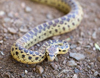 Pacyficzny Gopher wąż - Pituophis catenifer catenifer, dorosły w defensywnej posturze, Santa Cruz góry, Kalifornia Zdjęcie Royalty Free