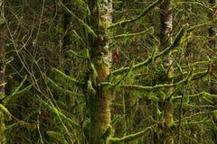 Pacyficzny północnego zachodu las i linii brzegowych sosny Zdjęcie Stock