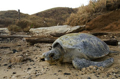 Pacyficzny Zielony denny żółw w opustoszałej plaży Obrazy Royalty Free