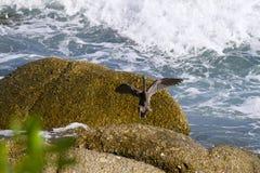 Pacyfik refuje egret, czarny pokojowy rafowy egret patrzeje dla ryba przy fotografia stock