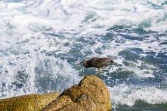 Pacyfik refuje egret, czarny pokojowy rafowy egret patrzeje dla ryba przy zdjęcia stock