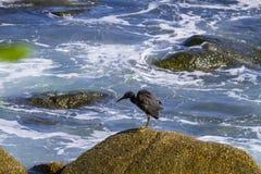 Pacyfik refuje egret, czarny pokojowy rafowy egret patrzeje dla ryba przy obraz stock